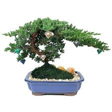 juniper bonsai bonsai mini juniper bonsai tree at junipers a