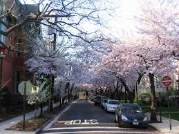 new haven celebrates 44th annual cherry blossom festival