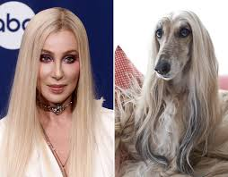afghan hound racing uk which one is cher and which one is the afghan hound we just can u0027t