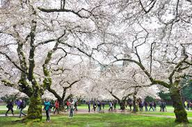 the spectatoruw cherry blossom festival welcomes spring the