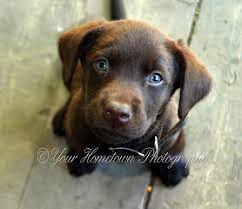 labrador retriever raise labrador retriever hubpages