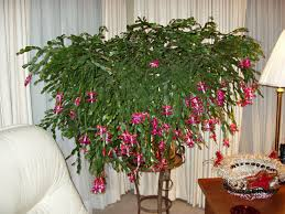 christmas cactus flowers u0026 plants pinterest christmas cactus