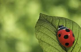 do ladybugs bring good luck these legends will amaze you