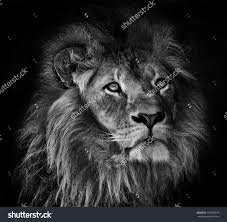black and white photography stock photos images pictures a black and white photography stock photos images pictures a portrait of male lion with mane on home decor