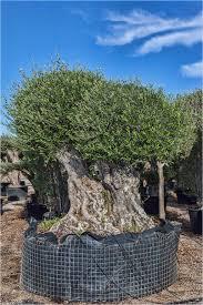 olive trees trunks pom pom from palm farm