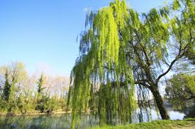 willow tree facts