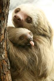 4 toed sloth photo of the week march 4 lincoln park zoo