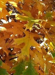 trees shrubs fall color minnesota