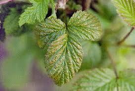 Rust Disease On Plants - raspberry rubus spp yellow rust pacific northwest pest