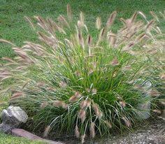 ornamental grasses new search garden designs