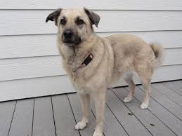 belgian shepherd x border collie help me identify my dog belgian malinois german shepherd