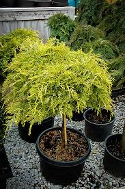 golden glow juniper tree form for sale the tree center