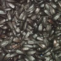 black sunflower seeds for wild bird food twootz com