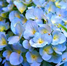 Hydrangea Flowers How To Care For Hydrangea Hometalk