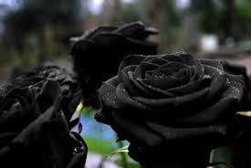 real black roses fact check black only grows in a in turkey