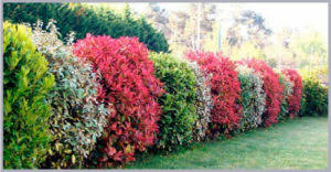 ornamental hedge shrubs your best combo packages 10 plant