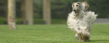 afghan hound job afghan hound dog breed health history appearance temperament