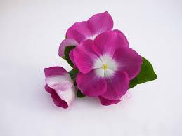 Bloom Vinca Mega Bloom Orchid Halo F1 All America Selections