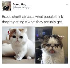 Short Hair Meme - bored hag powerful uggo exotic short hair cats what people think
