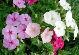 phlox flower phlox flower seeds flowerseedstore