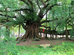 yangshuo big banyan tree yangshuo darongshu scenic spot