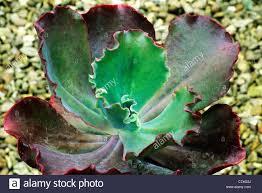 echeveria u0027mauna loa u0027 succulent succulents plant plants garden