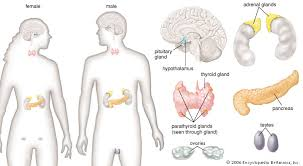 Human Anatomy And Body Systems Human Endocrine System Description Function Glands U0026 Hormones