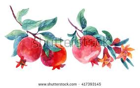 pomegranate fruit stock images royalty free images u0026 vectors