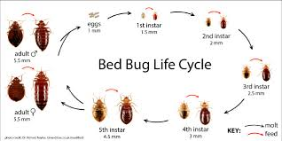 Living With Bed Bugs Bed Bug Biology And Behavior