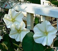 moon flowers moon flower seeds ebay