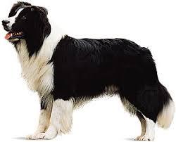 belgian sheepdog newsletter belgian sheepdog breed of dog britannica com