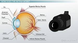 The Blind Spot In The Eye Is Due To Retina Definition U0026 Function Video U0026 Lesson Transcript Study Com