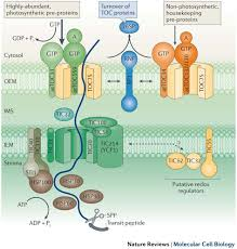 biogenesis and homeostasis of chloroplasts and other plastids