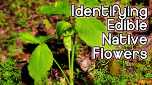 native ontario plants identifying spring wildflowers foraging for edible and bushcraft