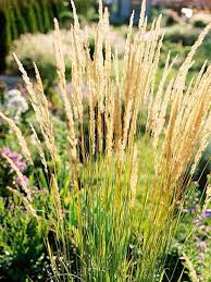 upright ornamental grass varietals