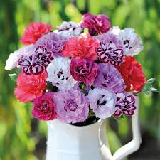 dianthus flower dianthus scents of summer collection thompson