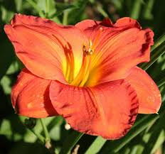 daylilies forum halloween colors share your orange and dark