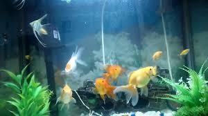 Home Aquarium by Home Aquarium Gold Fish Angel Fish Guppies Youtube