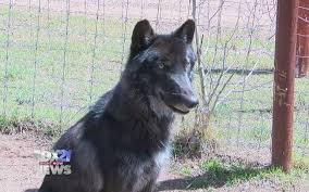 belgian shepherd timberwolf wolf rescued from illegal wildlife trade heads to divide to join