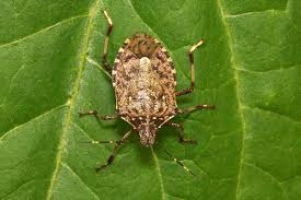 brown marmorated stink bugs u2014an invasive species u2014may be here to