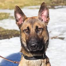belgian shepherd x border collie border collie rescue of minnesota