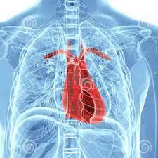 Diagram Heart Anatomy Anatomy Of The Human Heart