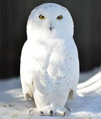 Snowy Owl Halloween Costume 25 Snowy Owl Ideas White Owls Owls