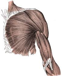 muscles of the upper limb boundless anatomy and physiology