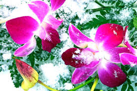 Orchids Care Care Tips Keeping Orchids In Winter