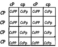 Dihybrid Cross Punnett Square Worksheet 16sqr Jpg