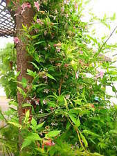 Fragrant Climbing Plants - scented climbers ebay
