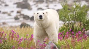 are polar bears omnivores national geographic