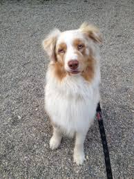 australian shepherd 1 jaar het hondenforum u2022 bekijk onderwerp charlie merle australian