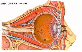 Anatomy Of The Eye Tag Anatomy Of The Human Eye Ppt Human Anatomy Library